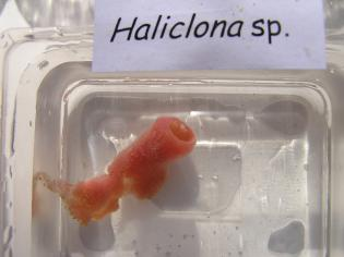 Haliclona sp.